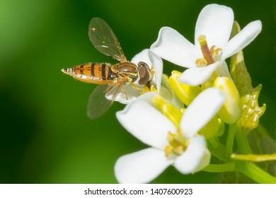 Margined Calligrapher collecting nectar from a Garlic Mustard flower. Ashbridges Bay Park, Toronto, Ontario, Canada.