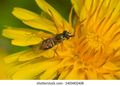 A Margined Calligrapher is collecting nectar from a yellow dandelion flower. Rosetta McClain Gardens, Toronto, Ontario, Canada.