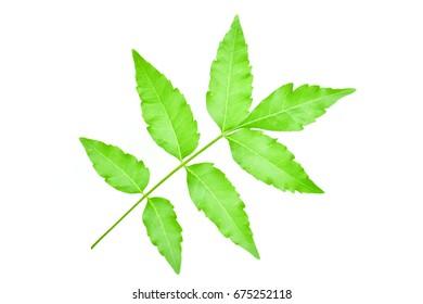 margosa, nim or neem tree, genus Melia see  on a white background