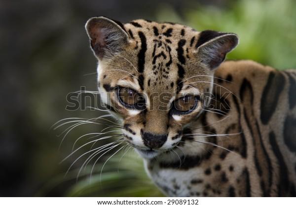 Marguay portrait (Felis wiedii)