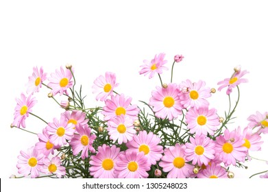 Marguerite daisies isolated on white background.