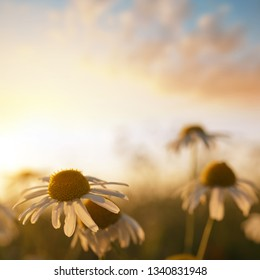 Marguerite daisies on meadow at sunset. Spring flower.