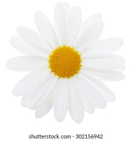 Marguerite Daisy blossom isolated with clipping path