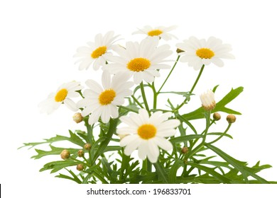 marguerite daisy isolated on white