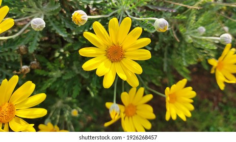 Marguerite daisy: a species of dill daisy, also known as Paris daisy, Federation daisy, white marguerite, Paris marguerite, it's botanical name is Argyranthemum frutescens.