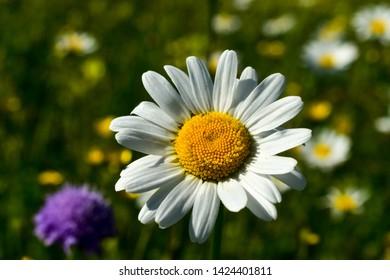 Marguerite flower or Oxeye daisy (Leucanthemum vulgare).