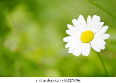 marguerite with green background