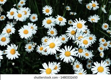 Marguerite (Leucanthemum vulgare) Flowering period: May - October. Location: Germany, North Rhine-Westphalia, Borken