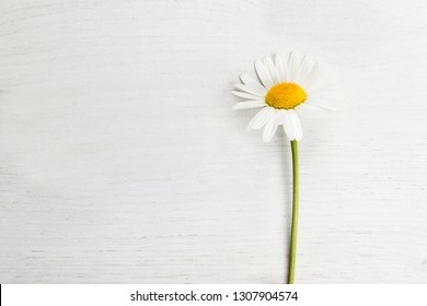 Marguerite on a white isolated background, spring concept