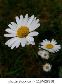 Marguerites  are blooming