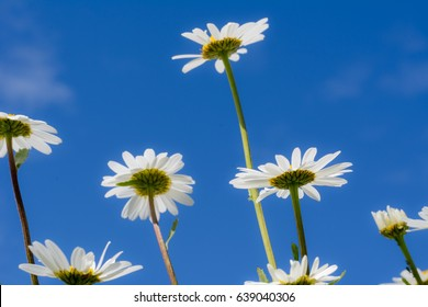 Marguerites in field in summer in daylight with blue sky
