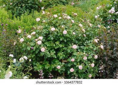 Maria Theresia Rose