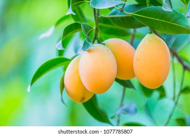 Marian plum,Marian mango or plango (Mayong Chit in Thai).  these tropical fruits are a relative of the mango