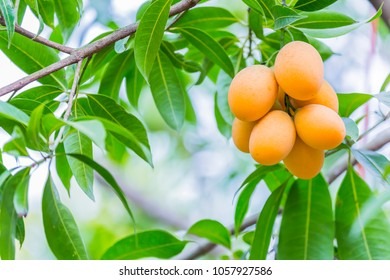 Marian plum,Marian mango or plango (mayongchit in Thai) is the most popular grown fruit in Nakhon Nayok provinces.The harvest season lasts from February to March.