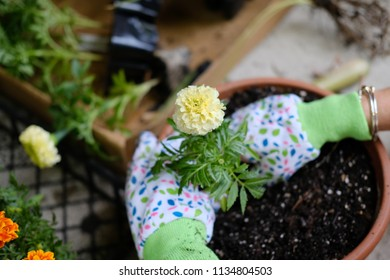 Marigold being planted in a planter