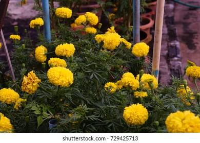 Marigold blossom in Thailand.