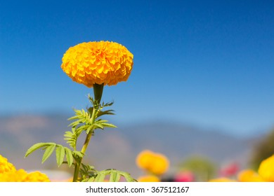 Marigold with blue sky.