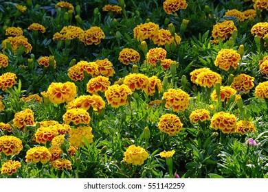 Marigold (Calendula Flowers) in garden