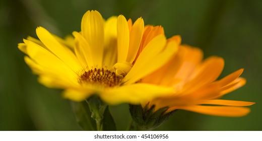 marigold, Calendula officinalis