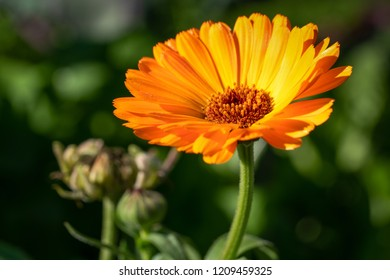 Marigold (Calendula officinalis), close-up of the flower in autumn colours