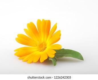 Marigold - Calendula Officinalis Isolated On White Background