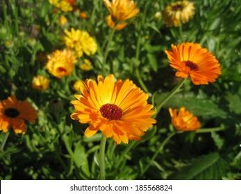 Marigold (Calendula officinalis) Meadow