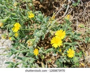 Marigold, calendula or yellow daisy, Calendula suffruticosa, growing in Galicia, Spain