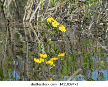 Marigold ( cow lily, Caltha palustris) is the most common plant of the lowland swamps and small streams across the Northern world. Springtide. Poisonous plant and cough medicine