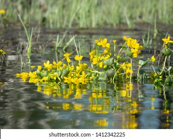 Marigold ( cow lily, Caltha palustris) is the most common plant of the lowland swamps and small streams across the Northern world. Poisonous plant and cough medicine