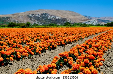 A marigold farm in southern California.