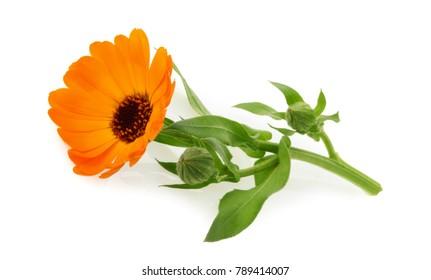 Marigold flower calendula officinalis isolated on white
