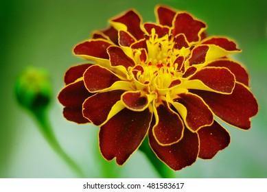 marigold flower. close up. macro