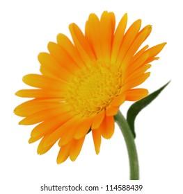 Marigold flower in closeup