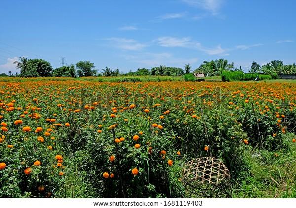 Des champs de fleurs de souci. Ces fleurs sont utilisées à Bali pour des questions religieuses comme cadeaux aux dieux. Indonésie.