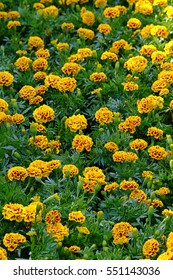 Marigold flower ,Marigold garden in the morning