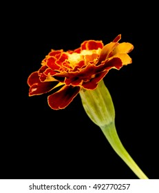 Marigold flower isolated on a black background