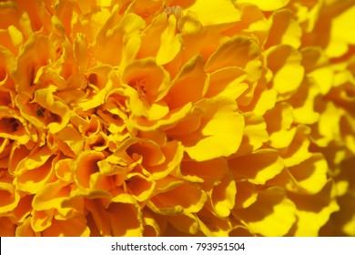 Marigold flower, macro