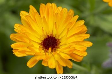 Marigold flower macro (calendula officinalis)