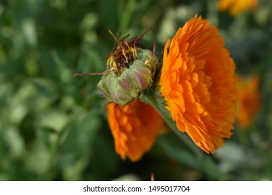 marigold flower orange with a bunch of seeds on a green background macro