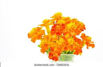 Marigold flower in pot on white background.