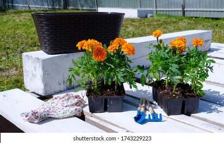 Marigold Flower Seedlings and Garden Tools Outdoor. Tagetes. Home gardening.