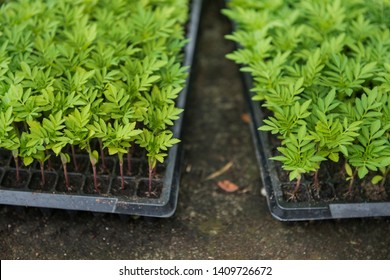 Marigold flower sprouts in the black plastic pots striving to the sunlight - Image.Sprout seeds of marigolds are grown. - Image