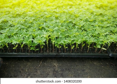 Marigold flower sprouts in the plastic box striving to the sunlight .Sprout seeds of marigolds are grown in black pots. - Image