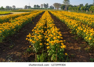 Marigold Flowerbed Beside Road in Thailand.  Marigold Flower used in Buddhism and Hinduism Religion Ceremony.