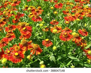 Marigold flowers in the garden.