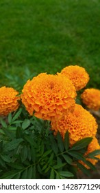 Marigold flowers on background of green grass