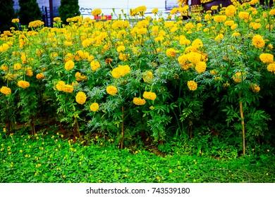 Marigold flowers roadside in Chiang Rai Thailand.