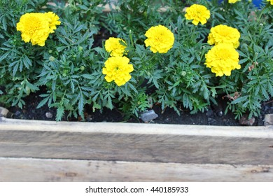 Marigold flowers in a wooden flower bed.
