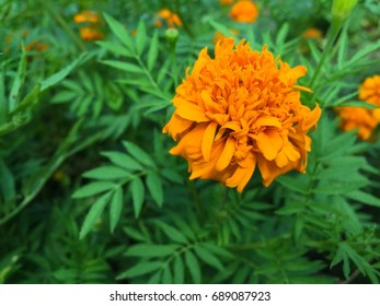 marigold folowers are the one of october birth flowers showing a wealth of gold