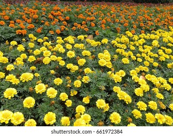 Marigold garden for making astaxanthin supplement